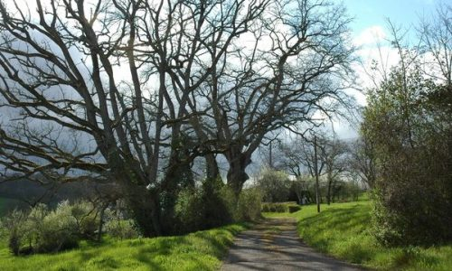 AFAOC-un arbre centenaire en bord de chemin